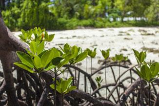Rote Mangroven Rhizophora mangle am Strand