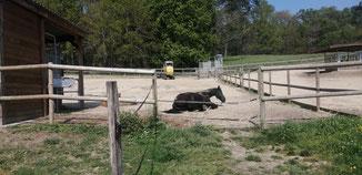 On a peur des contacts avec les autres chevaux mais même pas peur d'une mini-pelle. 😂