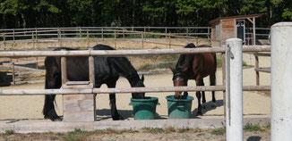 Boire en commun. Le bonheur pour des chevaux. 😍