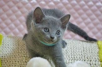 リンク画像:子猫を探す:ロシアンブルー