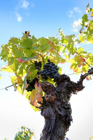 AOP Cahors vin