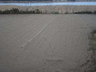 潟面は静か。砂丘地畑に動物の足あとたくさん。(佐)