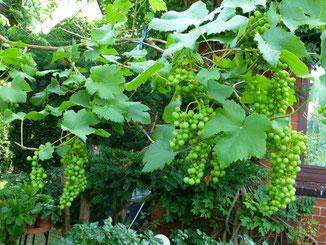 Die Weintrauben sehen zwar lecker aus, sind aber noch sauer!!!