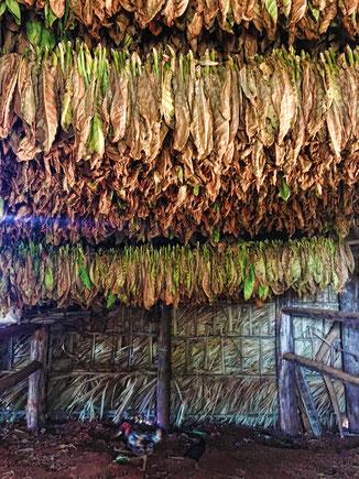 Hier trocknet der beste Tabak der Welt, der für die berühmte Zigarre 'Cohiba' verwendet wird