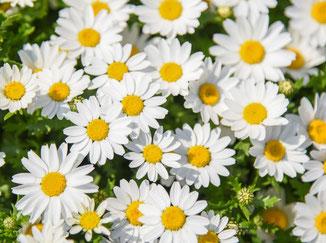 カモミールの花言葉は 「逆境に耐える力」             ハーブティーとしても 癒しを与えてくれます。