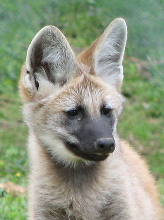 Junger Mähnenwolf, Wikipedia c) Ltshears – Trisha M. Shears