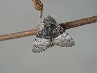 Colocasia coryli (Haseleule)
