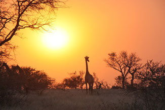 Giraffe in Sambia, Afrika-Reisen