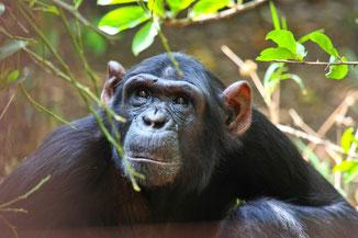 Schimpanse in Sambia, Afrika-Reisen