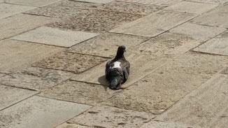 Diese Taube hat keine Beine mehr - man sieht es schlecht..