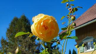 Rosen (fast) zu groß wie Sonnenblumen...