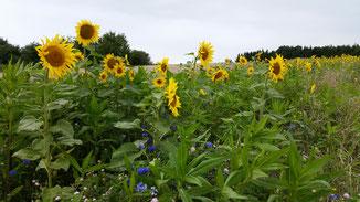 Sonnenblumen am Wegesrand...