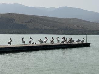 mit vielen Seevögeln und v.a. Pelikanen