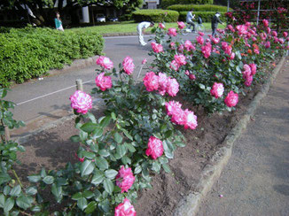 聖火 SEIKA (olimpic flame) , at flower beds of roses on the north of Hiratsuka Comprehensive Park 26 May, 2012