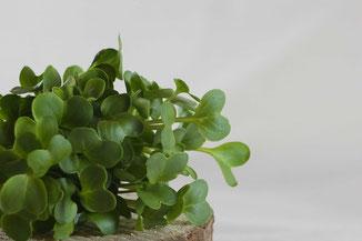 Rettich Microgreens auf Holzscheibe