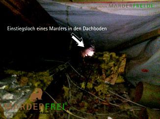 Marder Marderkot Marderlosung Dachboden Dachgaube Mader Marda Marderfrei Marderabwehr