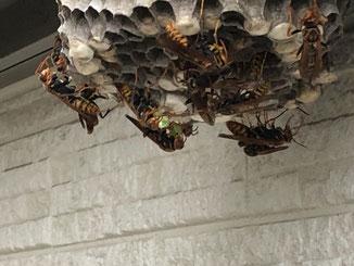 窓の下にアシナガバチの巣