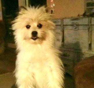 Klein Elo Familienhund wuschelig rau 6 kg Züchter