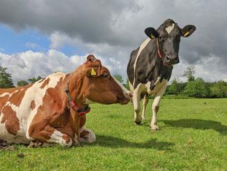 Kühe melken Ferien auf dem Bauernhof