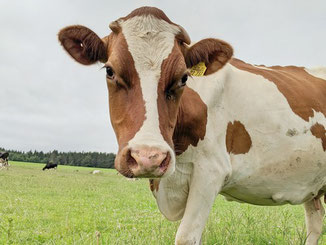 Kälbchen und Kühe auf einer Weide in Monschau