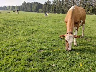 Kühe und Kälber zusammen auf der Venn Weide