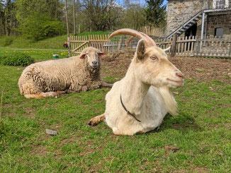 Ziege und Schaf  auf dem Bauernhof