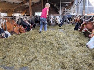 Futter verteilen an die Kühe