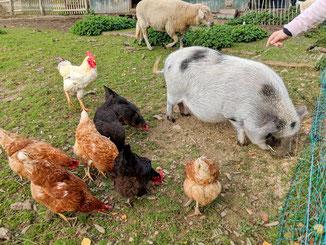Hühner füttern auf dem Bauernhof
