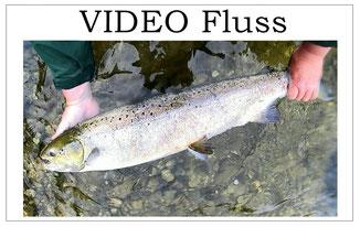 Lachs angeln Norwegen, in großen Flüssen, in Straumen in Meeresbuchten mit Fliege und Blinker, tolle Videos von Lachsfängen