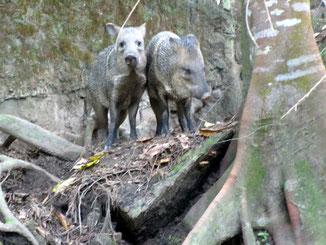 Zwei Pecariweibchen im Reservat