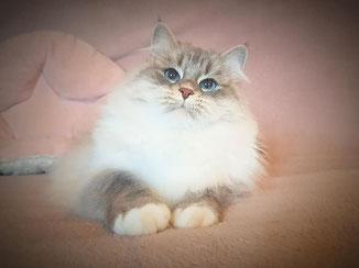 chat qui ne perd pas de poil