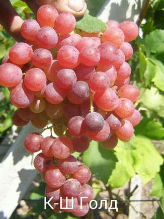 виноград сорта Кишмиш Голд