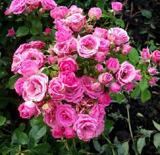 мини роза Лидия Классик
