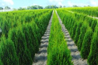 Große Auswahl an immergrünen Heckenpflanzen, Thujas so weit das Auge reicht.