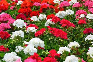 Weiße, rosa und rote Geranien im B&M Gartencenter in Oranienburg