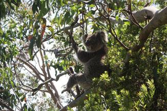 Koala im Baum - tierische Vielfalt in Australien