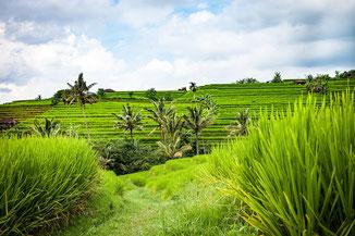 Grüne Landschaft, Bali