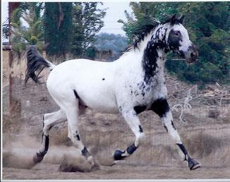 Butterwap Confetti Fewspot Appaloosa Hengst * Old-Line Appaloosa Sport Horse