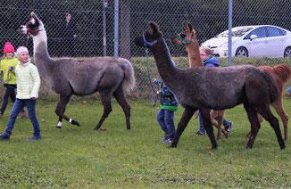 Auf dem Wollmarkt ist das Führen der Lamas besonders schön