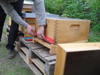Dann können die Bienen zu ihrem ersten Orientierungsflug ausfliegen und die Umgebung ihres neuen Zuhauses erkunden.