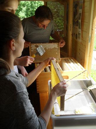 Die vollen Honigwaben werden in die Imkerei gebracht...