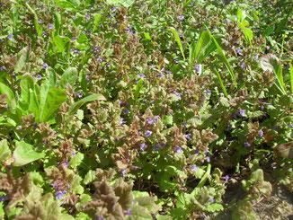 Der unscheinbare Gundermann (Glechoma hederacea) wächst in dichten Teppichen und ist eine wichtige Pollen- und Nektarquelle für Hummeln und die im April  fliegende Pelzbiene Anthophora plumipe.