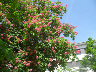 Reichlich Pollen und Nektar bietet die Rotblühende Rosskastnie (Aesculus rubicunda), einer Mischung aus der heimischen gewöhnlichen Rosskastanie (weiße Blüten)  und der amerikanischen Roten Rosskastanie (rote Blüten).