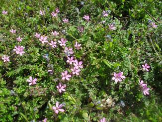 Der rosa blühende gemeine Reiherschnabel (Erodium cicutarium) und das Vergissmeinnicht (Myosotis) mit den kleinen hellblauen Blüten sind typische Pionier-Blütenpflanzen auf trockenen Brachen und Wegrändern.