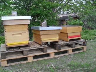 Unsere drei Beuten wurden von den jungen Imker*n abgeschliffen und mit  Leinölfirnis behandelt. In die rechten Beute wurde ein Bienenvolk von einem befreundeten Imker eingesetzt.