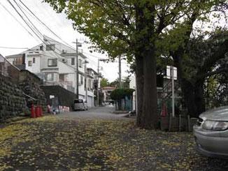 神奈川県・藤沢駅北口繁華街近くの神社のイチョウ