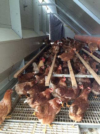 Hier ein Blick in die obere Etage. Vorne und hinten befinden sich zwei Leitern, über die die Hühner auch bei geschlossenen Außenklappen in den unteren Bereich ( Scharraum ) gelangen können.