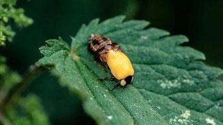 Marienkäfer schlüpft aus seiner alten Haut