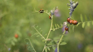 Marienkäfer und Blattläuse