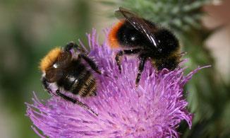 Wildbienen Schutz
